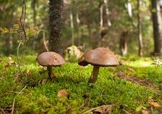 采蘑菇牛肝菌蕈类 库存图片