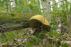 采蘑菇白杨木 库存照片
