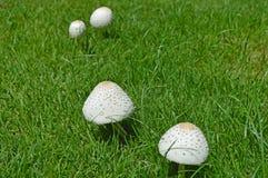 采蘑菇白色 免版税库存照片