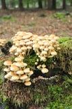 采蘑菇硫磺一束 库存照片
