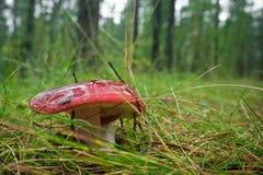 采蘑菇红茹属 免版税图库摄影