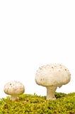 采蘑菇自然 免版税库存图片