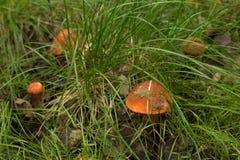采蘑菇草的白杨木森林 免版税库存图片
