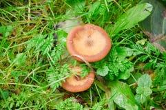 采蘑菇蜜环菌蜜环菌属mellea 库存图片