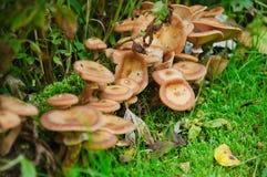 采蘑菇蜜环菌蜜环菌属mellea 免版税库存照片