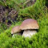 采蘑菇通配 图库摄影