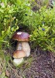 采蘑菇通配 免版税图库摄影