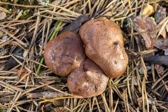采蘑菇年轻人 图库摄影