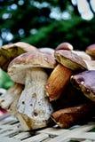 采蘑菇 库存图片
