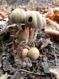 采蘑菇- mycetalia - mycena 免版税库存照片