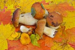 采蘑菇porcini 库存照片