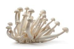 采蘑菇shimeji白色 免版税库存图片
