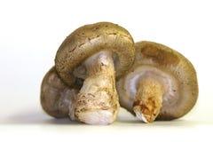 采蘑菇shitake 免版税库存图片