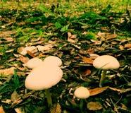 采蘑菇whithe 免版税库存图片