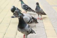释放在边路的六鸽子步行 免版税图库摄影