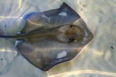 释放通配的黄貂鱼 免版税库存照片