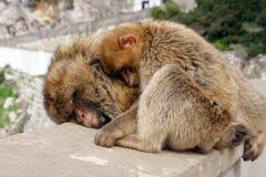 巴巴里人猴子母亲和婴孩 免版税库存图片