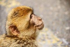 巴巴里人猴子的逗人喜爱的面孔 免版税库存照片