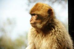 巴巴里人猴子 库存图片