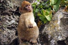 巴巴里人猴子 免版税库存照片