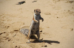 巴贝里地松鼠 图库摄影