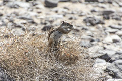巴贝里地松鼠 免版税库存照片