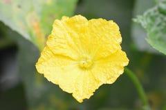 里奇金瓜黄色花 库存照片