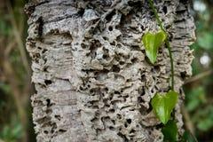 里帕尔贝拉、里窝那、意大利- 2017年10月05日-常春藤附有世俗橡木和远足者步行alon的吠声 免版税图库摄影