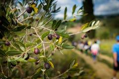 里帕尔贝拉,里窝那,意大利- 2017年10月05日-橄榄树枝 库存照片
