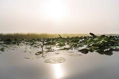 里德、黄色百合和水在日出 免版税库存照片
