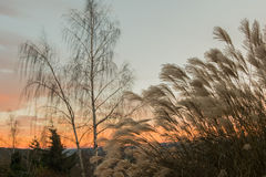 里德和桦树 库存照片