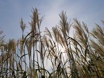 里德在天空背景晚上风景荻芦竹的盛开开花 免版税库存图片