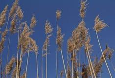 里德在风的草羽毛 免版税图库摄影