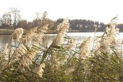 里德,河植被 库存图片