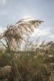 里德,河植被 免版税库存照片