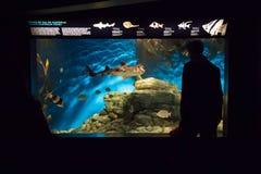 里斯本Oceanarium -看鱼缸南澳大利亚鱼 库存图片