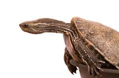 里海乌龟 免版税库存图片