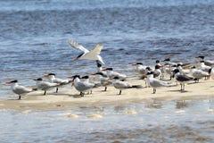 里海燕鸥和笑的鸥在沙洲 免版税库存图片