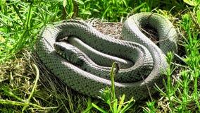 里海鞭蛇,保加利亚 免版税库存图片
