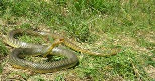里海鞭蛇- 1.7 m长 库存照片