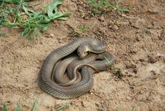 里海鞭蛇 免版税库存图片