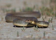 里海鞭蛇 库存图片