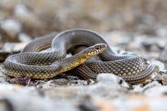 里海鞭蛇Dolichophis caspius 库存图片