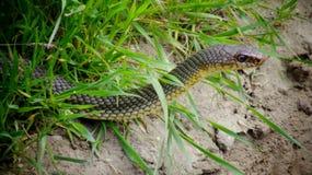 里海鞭蛇Dolichophis caspius 免版税库存照片