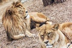 巴贝里狮子夫妇-豹属利奥利奥,危险的动物sp 免版税图库摄影