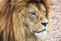 巴贝里狮子画象-豹属利奥利奥,危急地危险 库存照片
