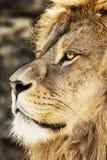 巴贝里狮子画象(豹属利奥利奥),危险的动物spec 图库摄影