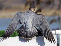巴贝里猎鹰 库存照片