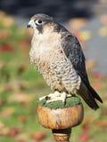 巴贝里猎鹰 免版税库存照片