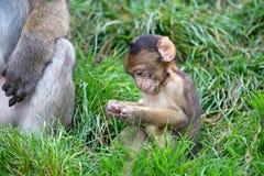 巴贝里猕猴属短尾猿sylvanus 免版税库存照片